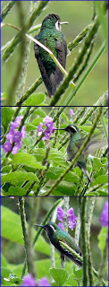 grey mountain gem hummingbird