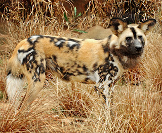 amazing black and brown african painted dog