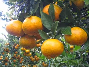 cara meningkatkan hasil panen budidaya jeruk dengan pupuk organik nasa