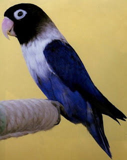 Mengenal Dekat Ciri Burung Love Bird Violet