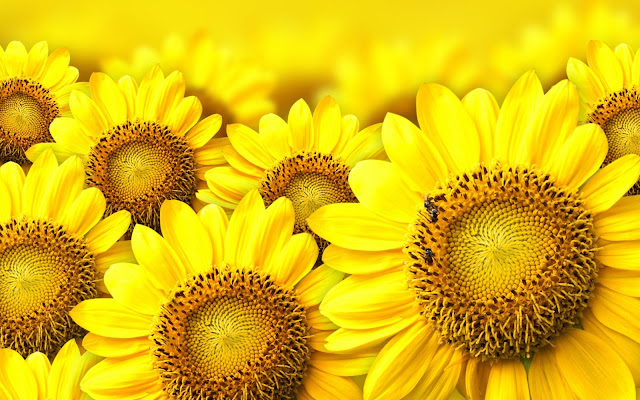Flores de Girasoles Amarillos Fondos de Pantalla HD de Flores Amarillas