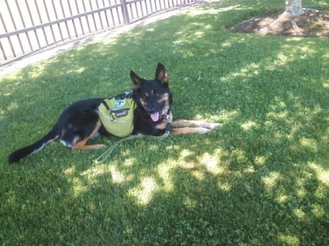 Shilo in her harness laying in the grass next to the pool fence