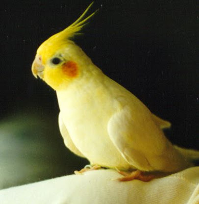 Cockatiel Bird Pictures