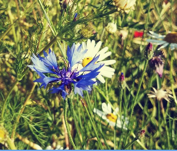 Polne kwiaty, chabry, maki , oset