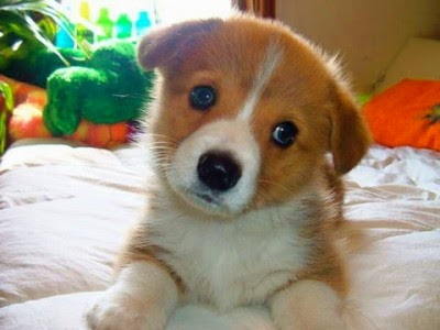 cute-welsh-corgi-puppy-400x300.jpg