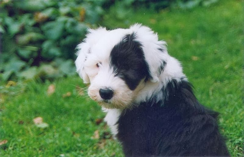 Old English Sheepdog1
