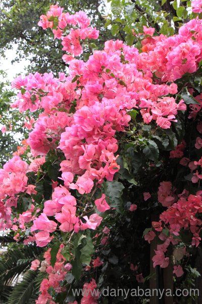 Bougainvillea or bouganvillea with pink flowers