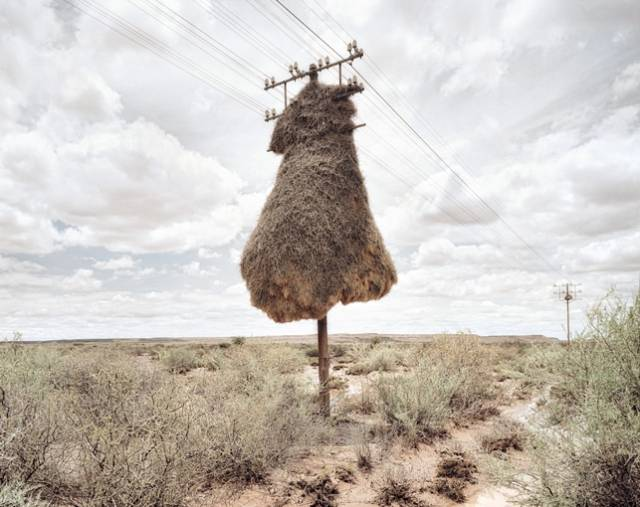 "The Lorax than what you would find in Africa's Kalahari Desert, these fantastically decorated telephone poles are actually home to the aptly named Sociable Weaver bird.  The communist little soarers don't just build massive homes for their own kind—they even allow other species of birds to settle down in the nests, which could very well hold up to 100 birds at a time. According to the San Diego Zoo, the South African pygmy falcon Polihierax semitorquatus (otherwise known in layman's terms as good-for-nothing squatters) ""relies completely on the sociable weavers' nest for its own home, often nesting side by side with the sociable weavers."