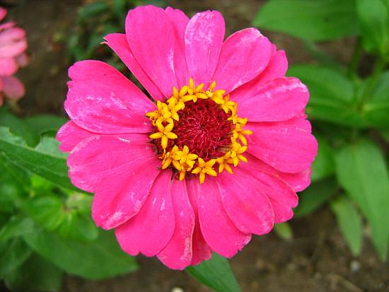 Pink zinnia after storm-macro