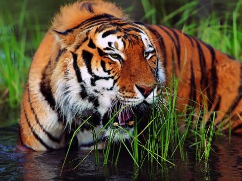 http://4.bp.blogspot.com/--pDMPBJP0rI/TkSeJEKDvwI/AAAAAAAAARc/wd7qZOEZML8/s1600/large_Aggressive_Tiger_Wallpaper_64875.jpg