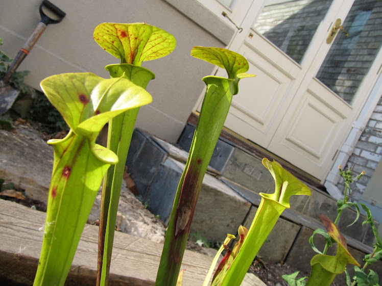 Sarracenia flava