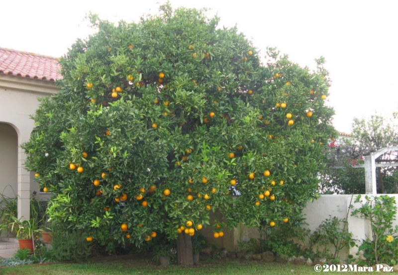 Algarve orange tree