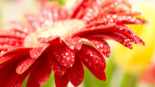 Awesome Red flower and Raindrops HD Wallpaper