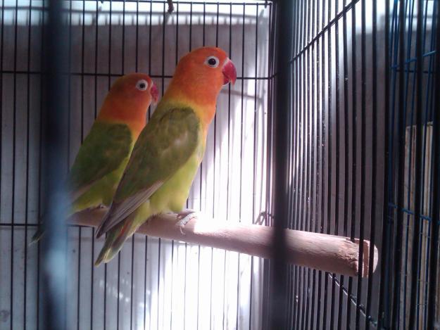 om hoby cara mudah memilih indukan burung love bird atau