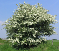Huathe the Hawthorn tree