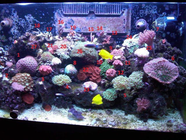 Brain Coral For Sale3