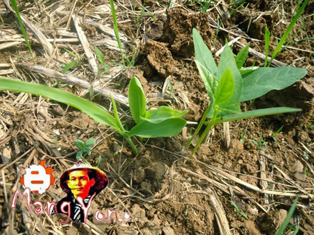 Tanaman Kacang ijo dan tanaman jagung