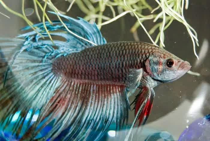 Ikan hias air tawar asli dari Indonesia