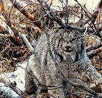 """Canadian Lynx"""