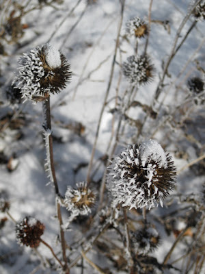 Frost on coneflower foliage