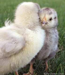 White Orpington & Columbian Wyandotte chicks
