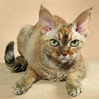 devonshire rex cat pets photo picture