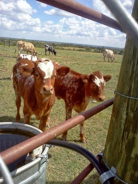 Sweet Baby Longhorn