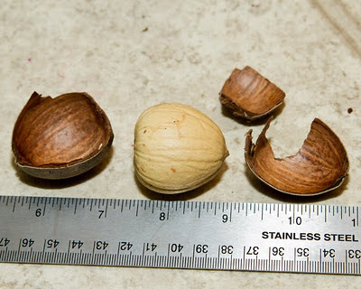 shelled burr acorn nut meat