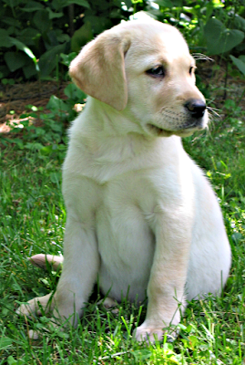 puppies; dogs; yellow Labrador retriever