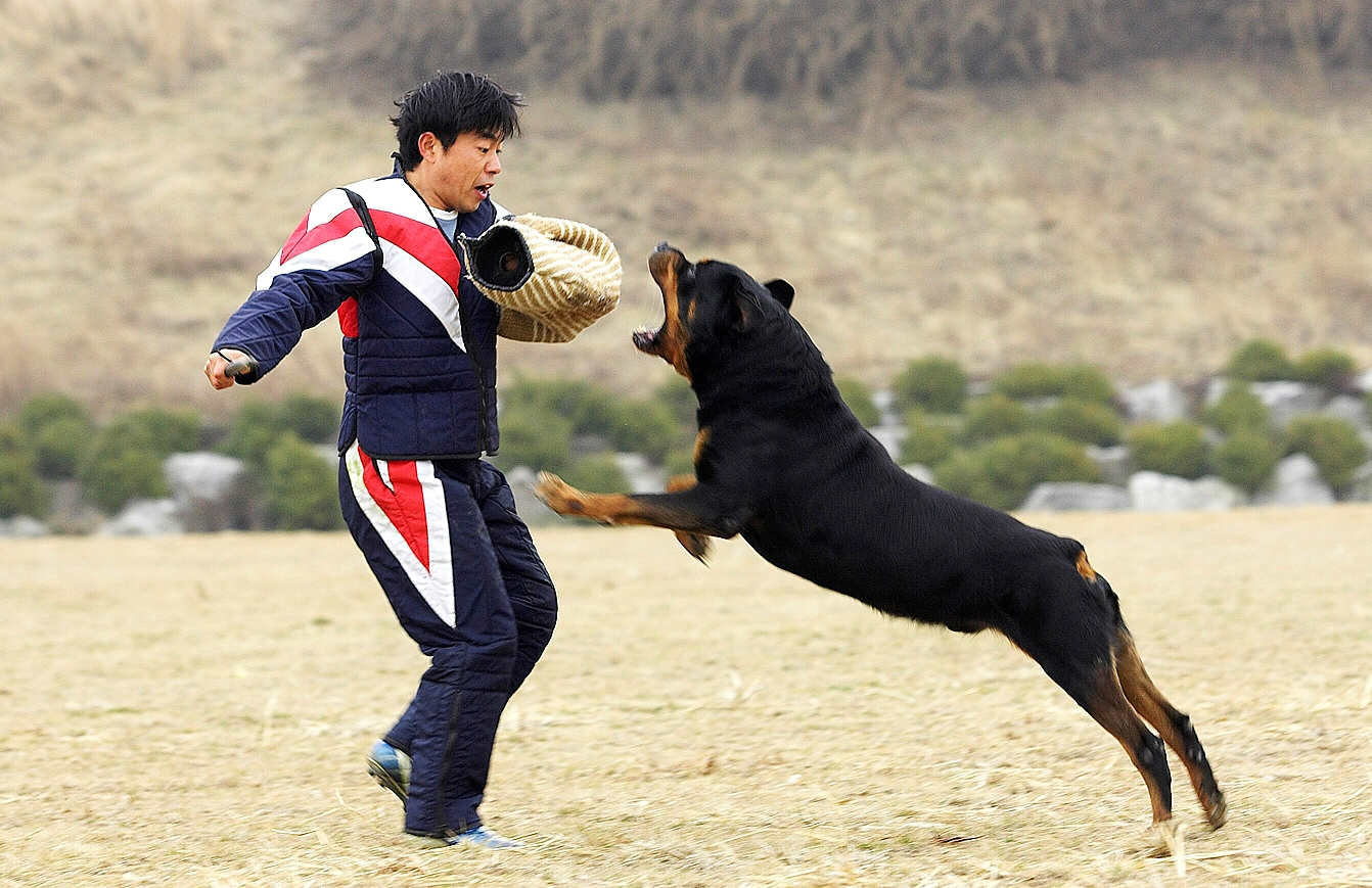 Newtrendiscoming Rottweiler Attacks Owner During Play Time