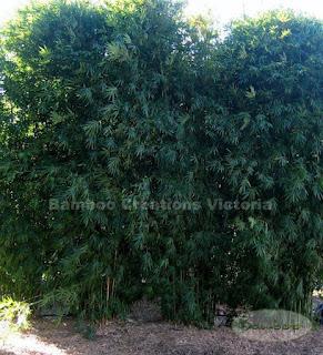Bambusa textilis var. gracilis - Slender Weavers Bamboo