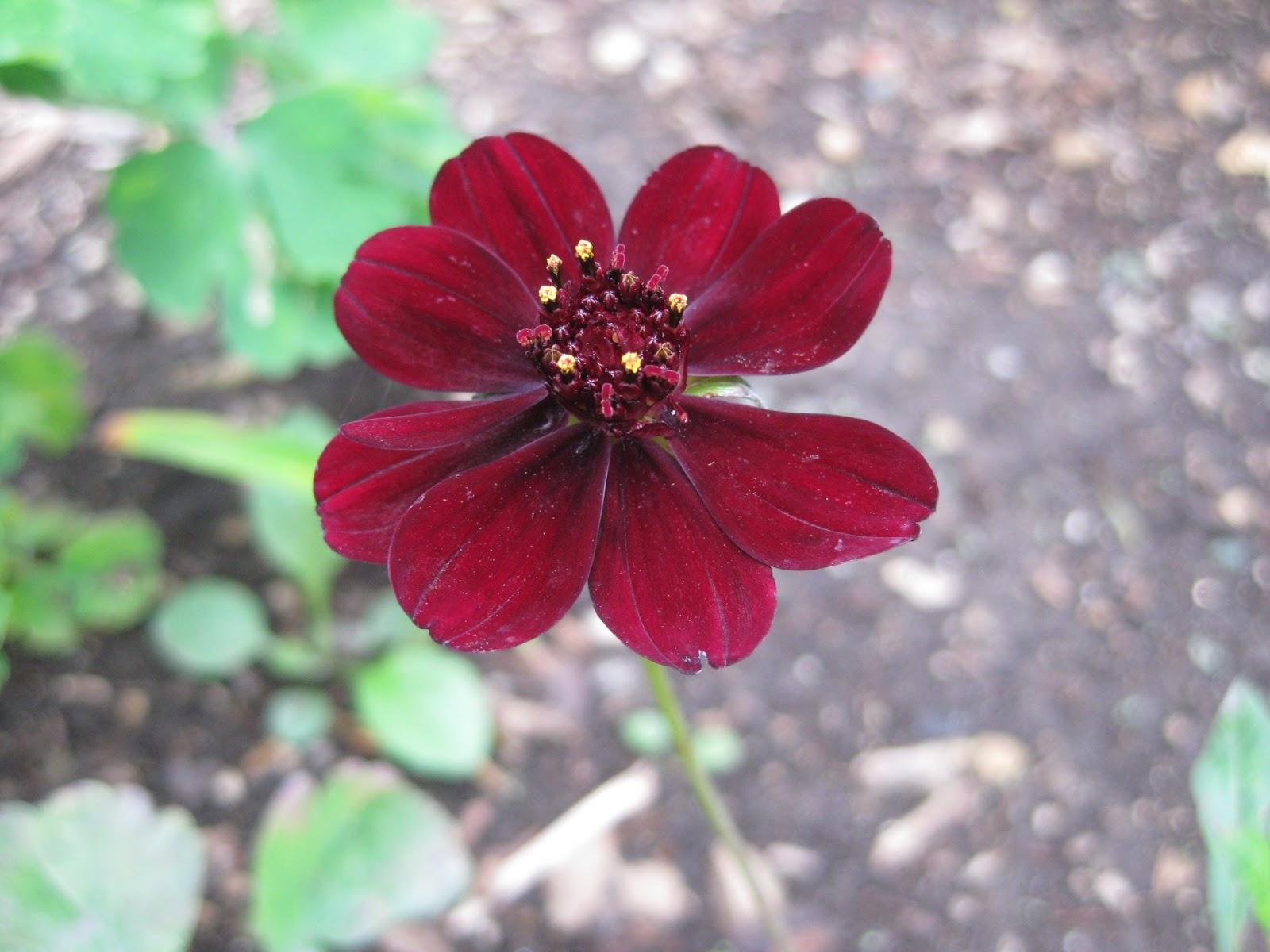Rotary Botanical Gardens - Hort Blog: Classy Cosmos