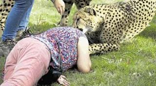 Wanita yang diserang oleh Cheetah di Taman Safari