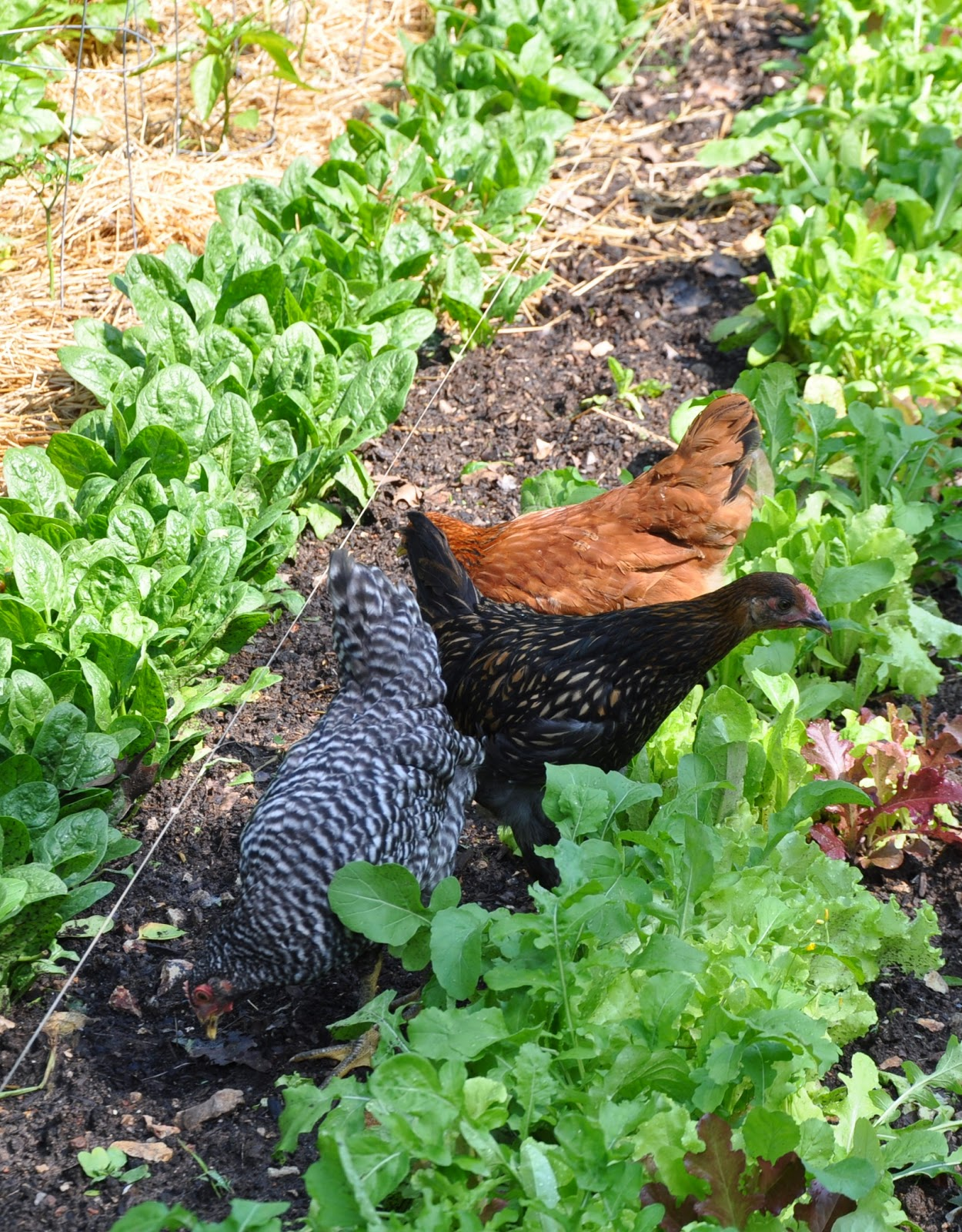 gardening with chickens part 3 community chickens