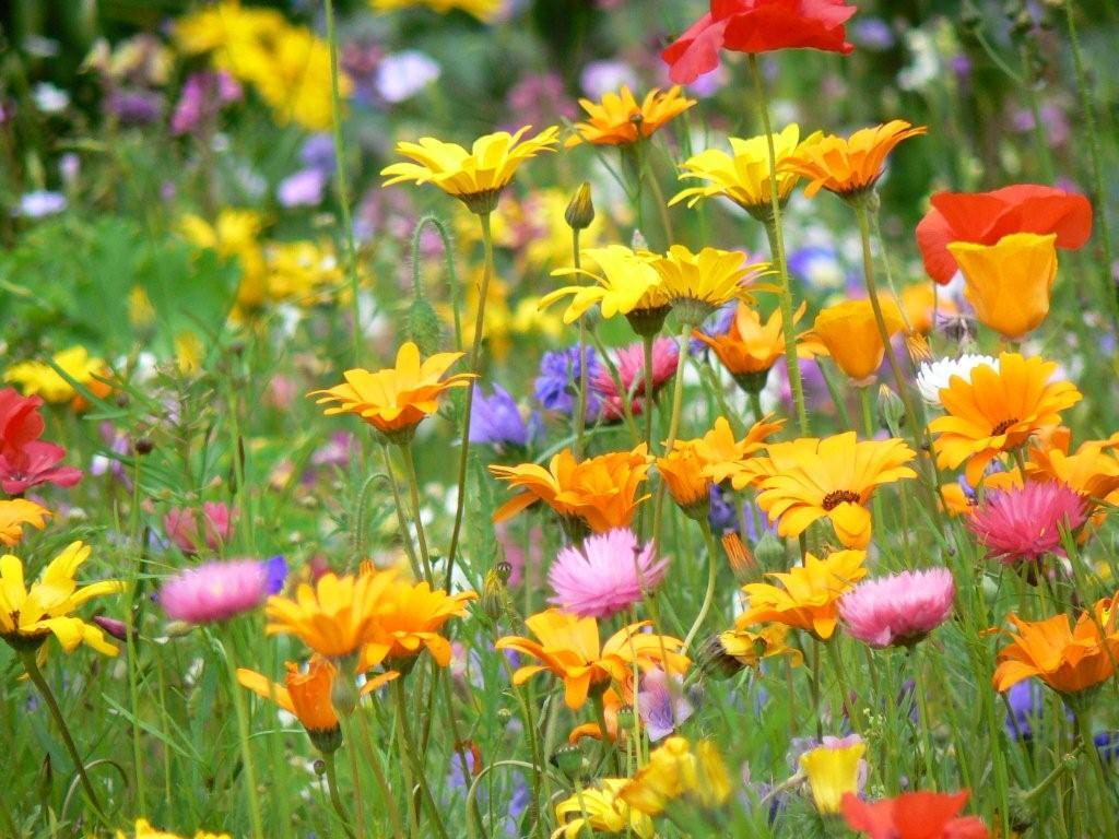 Hintergrundbilder Blumenwiese