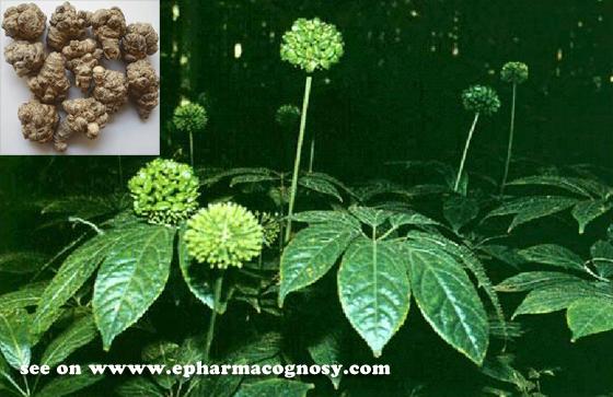 Panax notoginseng (Burk.) F. H. Chen (Fam. Araliaceae)