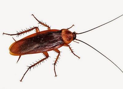 Kalorifer Böceği İlacı Doğal Yollar Kalorifer Böceği Hangi Kokuyu Sevmez