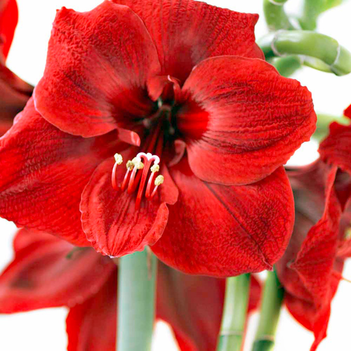 Amaryllis is one of the most brilliantly coloured spring bulbs the