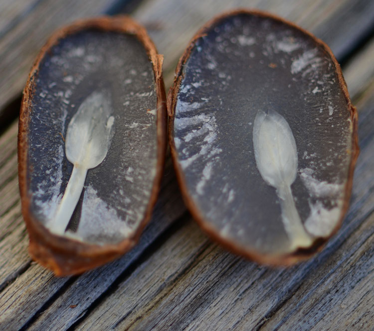 "The persimmon seed prediction guide: ""spoons"" predict snow, ""forks"" say no snow, ""knives"" indicate ice."