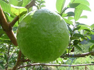 big red guava