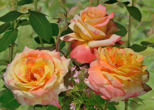 Marvelle rose сорт розы купить фото