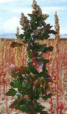 Le blog al atoire for Plante quinoa