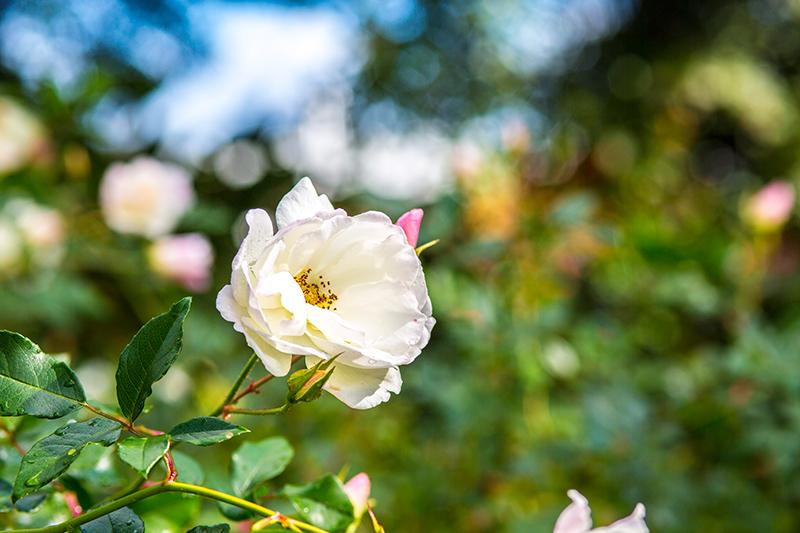 CrystalPhuong- Singapore Travel Blog- Fresh rose in King's Park