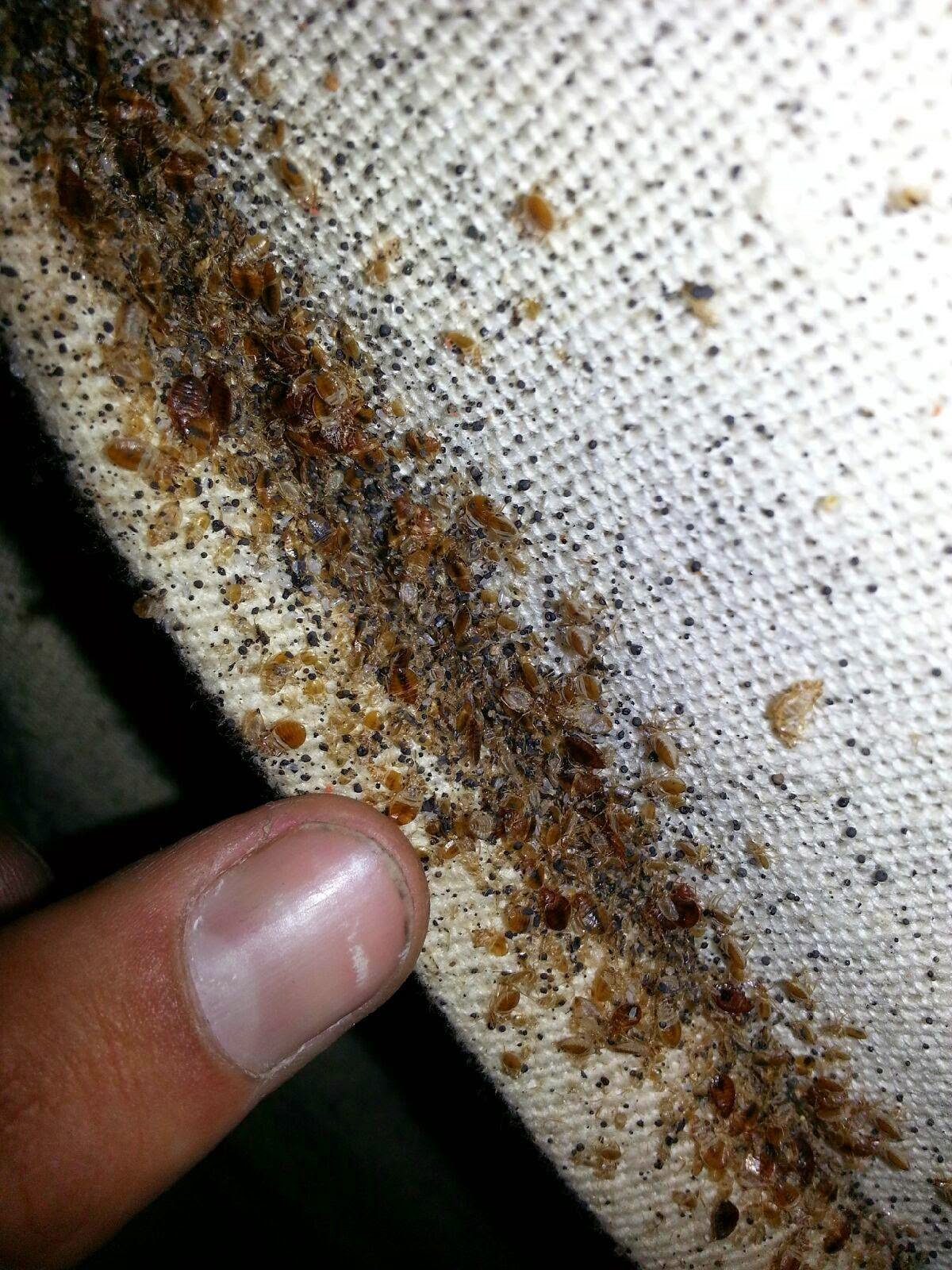 Great Bed Bug Infestations Are On The Rise Every Day. They Were Pretty Much  Eliminated In The U.S. Back In The Late 1950u0027s With DDT As The Main  Firepower.