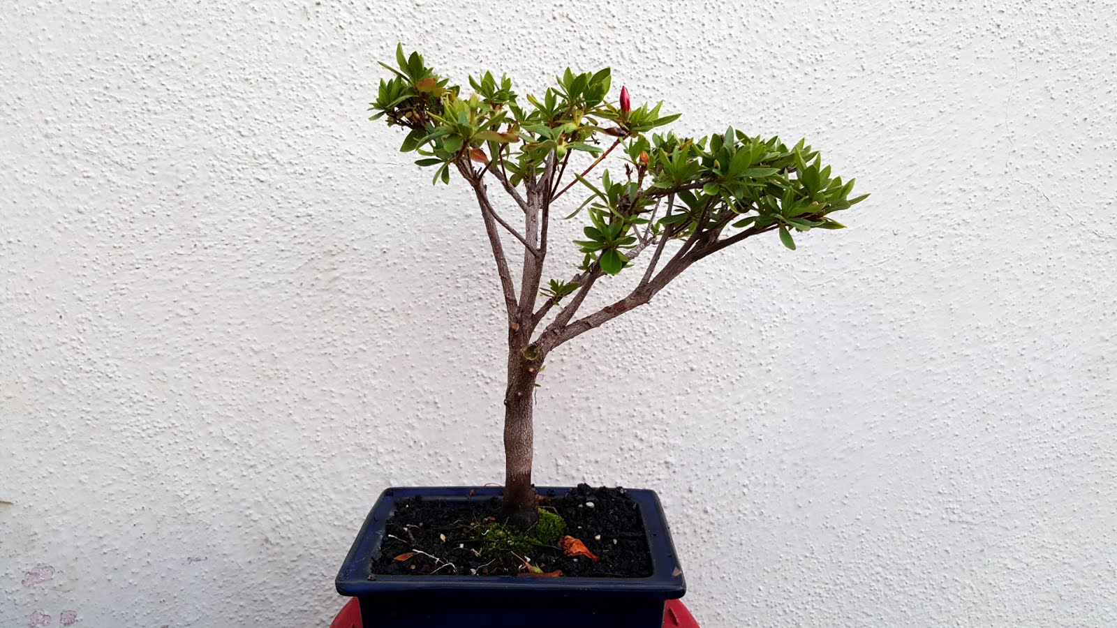 Bonsai Misadventures Azaleas The T 1000 Of Bonsai Plants