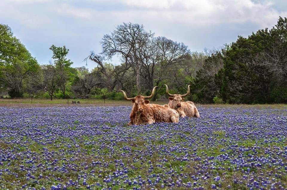 Funny animals of the week - 5 April 2014 (40 pics), texas longhorn sits on flower field