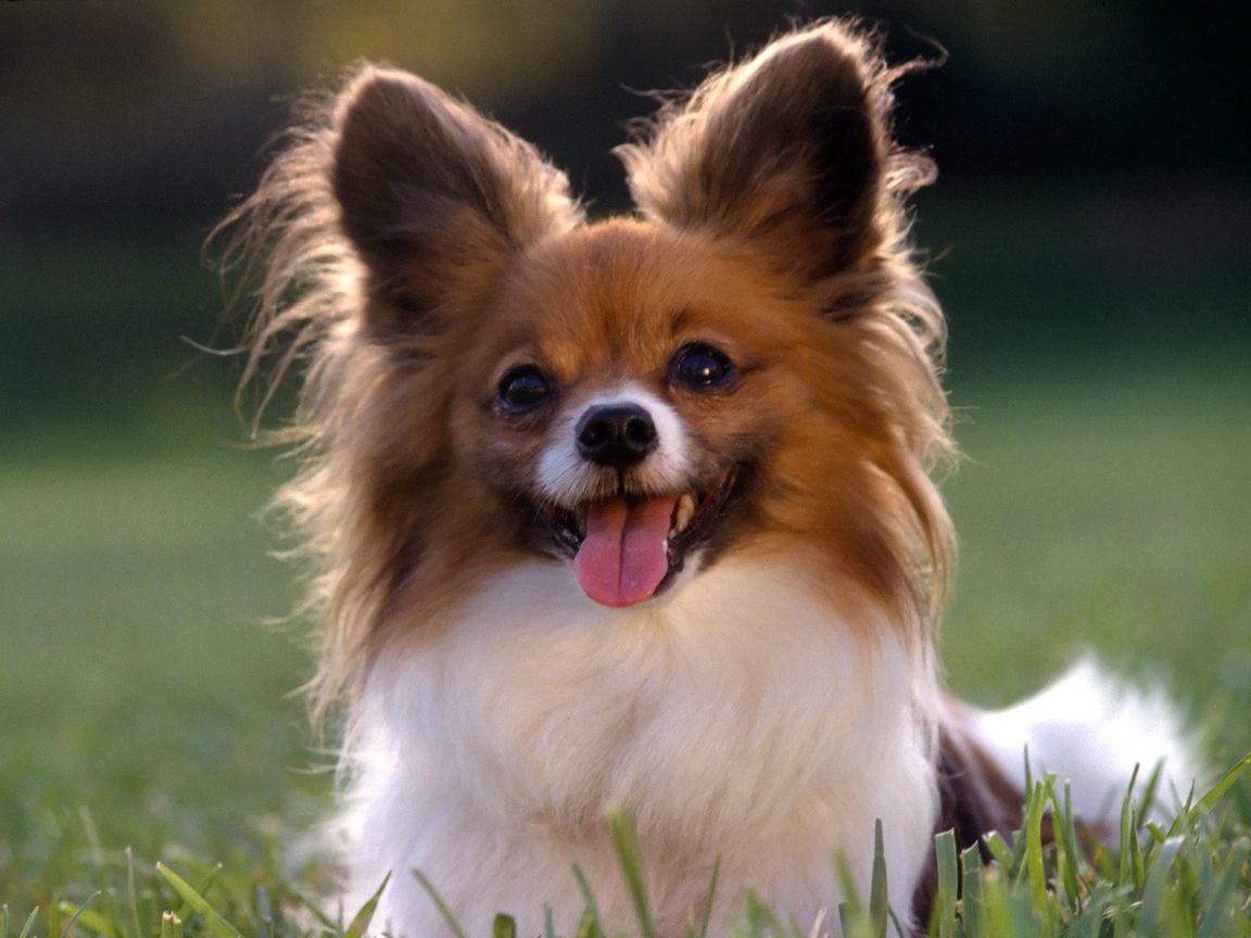 R Chihuahuas Smart nash