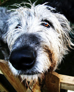 Irish Wolfhound by jbraine