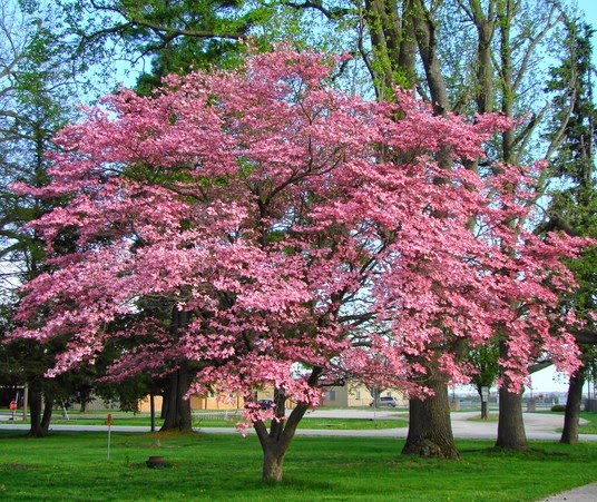 A st louis realtors adventures tips and finds name those blooms pink dogwood tree mightylinksfo