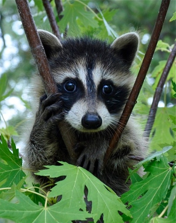 raccoon on tree, funny animal pictures, animal pics